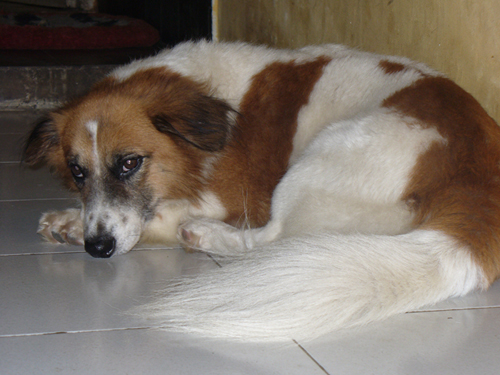 melamun. Meet KAPAS my doggy.