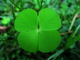 Katanya semanggi berdaun 4 adalah tanda keberuntungan. Bagaimana menurutmu?