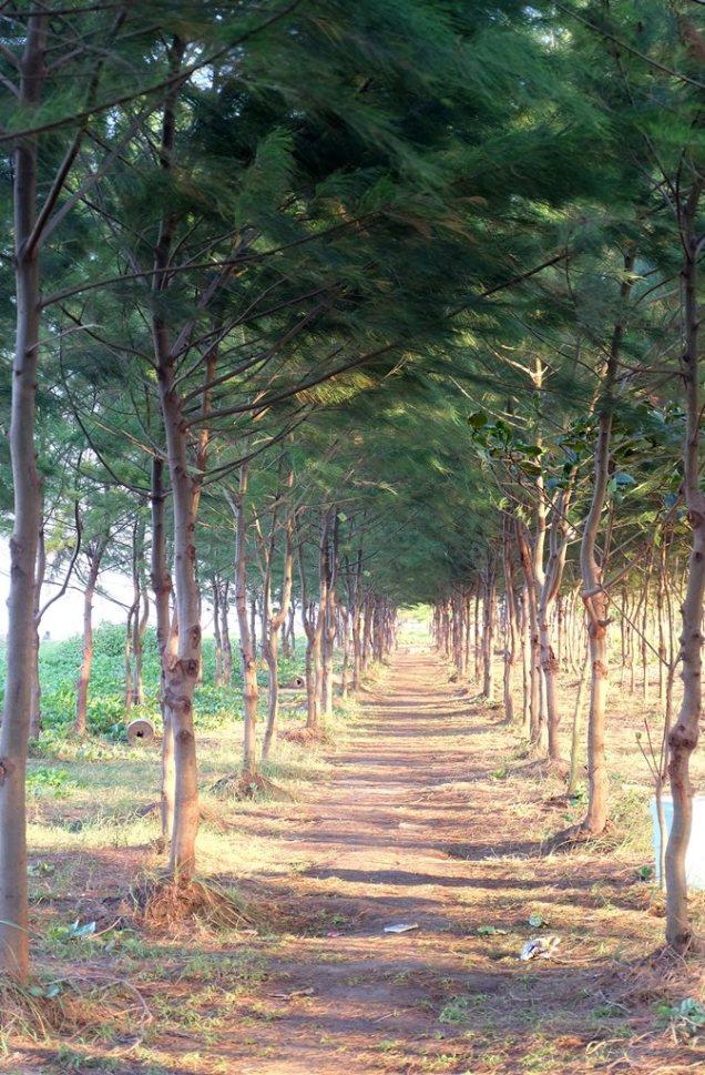 Ekowisata Mangrove Karangsong 10