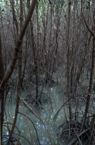 Ekowisata Mangrove Karangsong 9